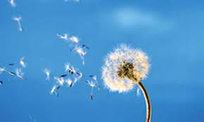 Dandelion-blowing-in-wind
