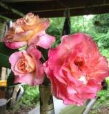 RosesNesta